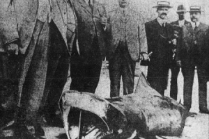 A shark captured in Cuba in July 1916 (Courtesy Library of Congress)